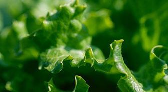 Overwinter Lettuce