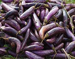 Winter Gardening Eggplant Cold Frame