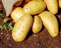 Winter Gardening Potatoes Cold Frame